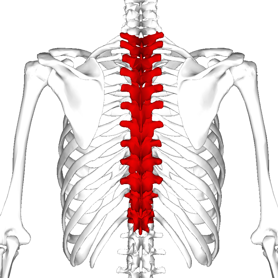 Thoracic_vertebrae_back4